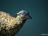 stray-pheasant